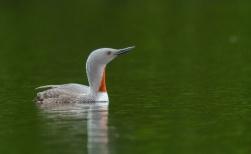 Rain Goose