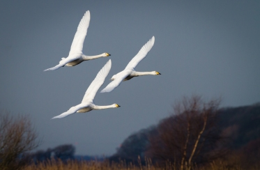 Whooper Formation