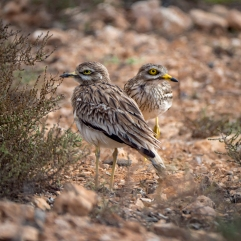 stone curlew-1