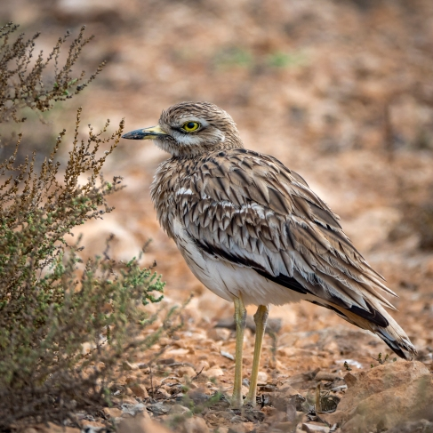 stone curlew-3