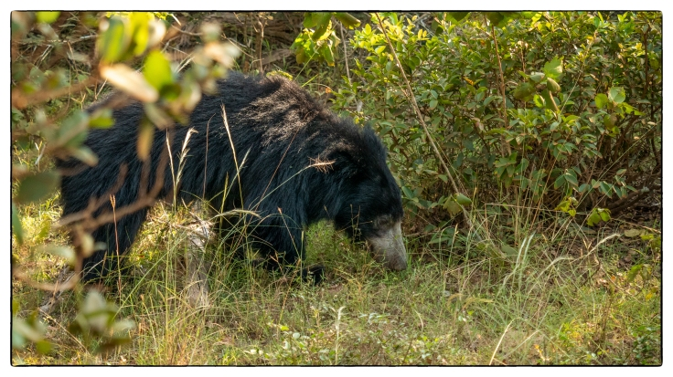 Sloth Bear (1 of 1)